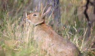 El conejo es declarado como una especie 'en peligro de extinción' en Europa
