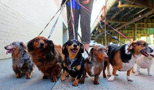 Miraflores: reglamentan cantidad máxima de perros para paseadores
