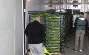 Francia: hallan casi 400 kilos de marihuana camuflados entre lechugas y apios