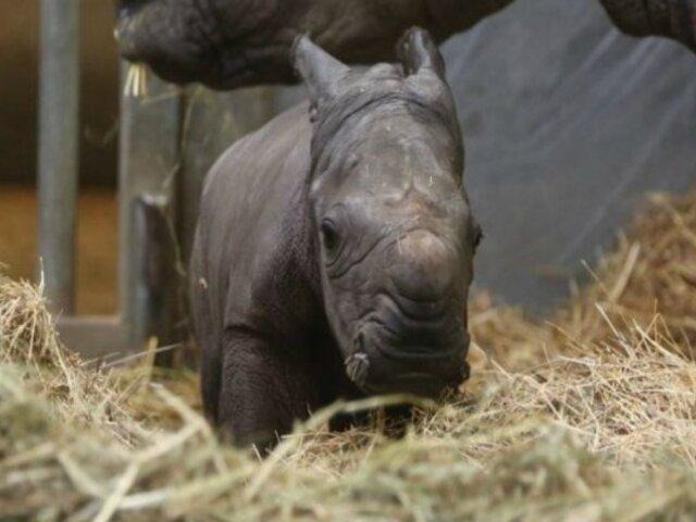 Bélgica: nace un rinoceronte blanco en cautiverio
