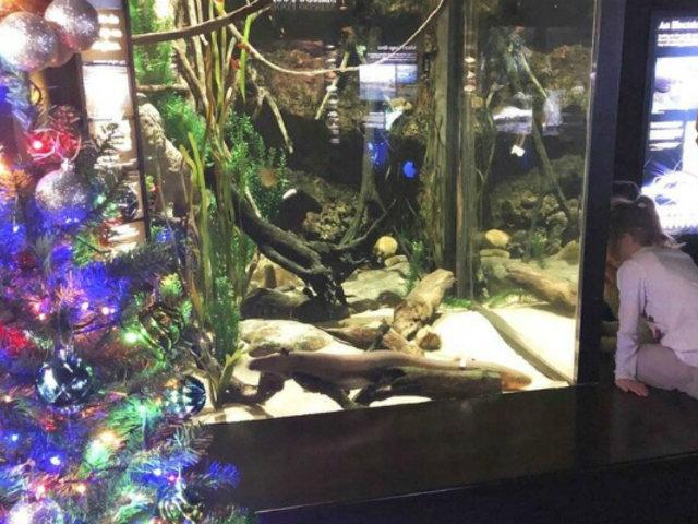 EEUU: anguila enciende luces navideñas con descargas eléctricas
