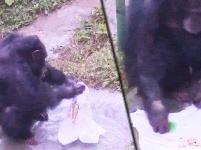 China: chimpancé lavando ropa cautiva a los visitantes de un zoológico