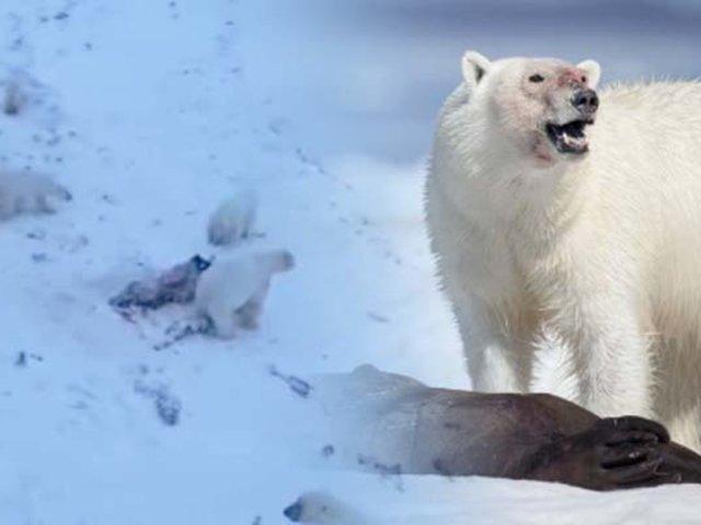Rusia: encuentran a 60 osos polares hambrientos comiendo cadáveres de morsas