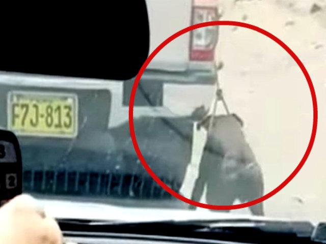 Ventanilla: sujeto amarra perro en su vehículo y lo arrastra