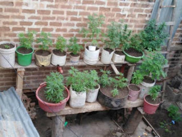 Lambayeque: hallan más de 30 plantaciones de marihuana en vivienda
