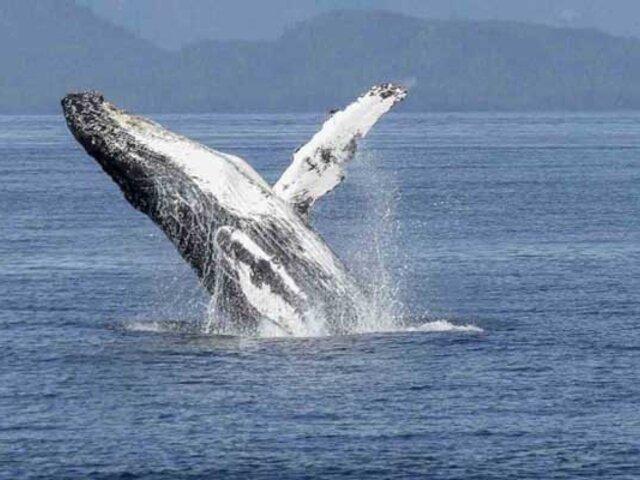 Canadá multa a turista por acercarse mucho a una ballena
