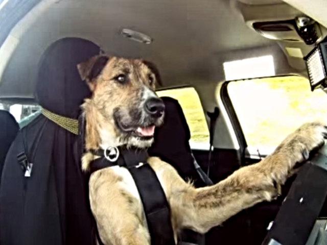 Perro 'conduce' auto de su dueño y lo sumerge en estanque