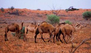 """Australia: matarán a 10 mil camellos por buscar agua de """"manera violenta"""""""