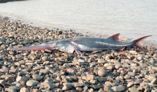 China: anuncian extinción de pez espátula del Yangtsé