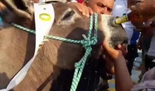 Maltrato animal: burro es obligado a beber cerveza por la nariz tras haber ganado carrera
