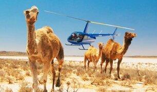 Australia: sacrificarán a 10 mil camellos salvajes por falta de agua