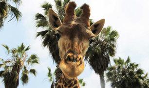"""San Miguel: jirafa """"Domingo"""" celebró su noveno cumpleaños"""