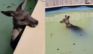 Australia: canguro escapa de incendios y se refugia en alberca