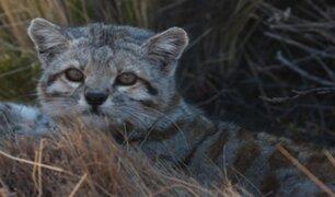 Argentina: gato andino reaparece por primera vez en 12 años
