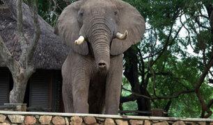 VIDEO: elefante sorprende al saltar una barda para buscar alimentos