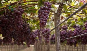 Lunahuaná: Ministerio de Agricultura promueve cultivo de uvas pisqueras