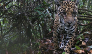 Cámaras captaron rara especie de jaguar en selva de Cusco