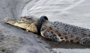 Indonesia: ofrecen recompensa por quitar llanta del cuello de cocodrilo gigante