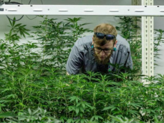 Residentes de Illinois pueden comprar marihuana con fines recreativos de manera legal