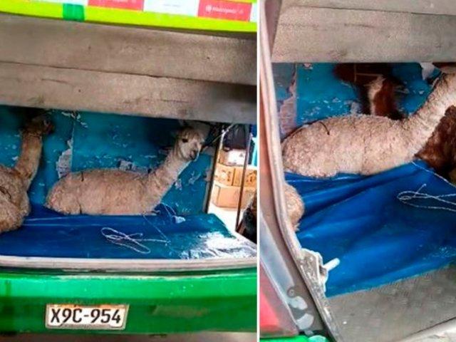 Maltrato animal: alpacas son transportadas en maletera de bus interprovincial en Cusco