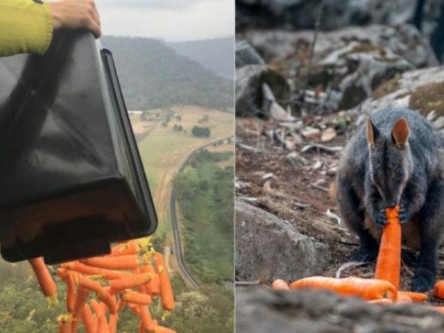 Australia: lanzan miles de zanahorias desde el aire para animales afectados por incendios