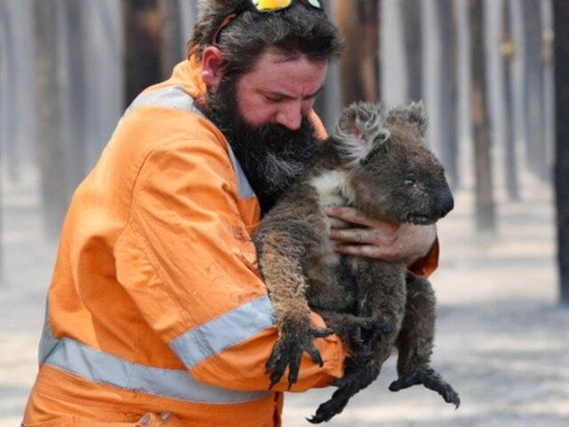 Australia destinará decenas de millones de dólares para recuperar población de koalas