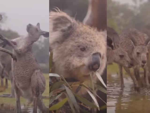 Australia: la emotiva celebración de los animales por la llegada de la lluvia tras meses de incendios
