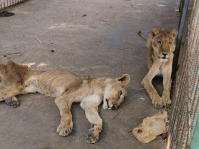 [FOTOS] Crueldad animal: leones desnutridos en zoológico de Sudán conmocionan al mundo