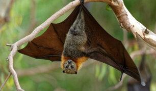 Descubren seis nuevos tipos de coronavirus en murciélagos y se estima que hay miles más