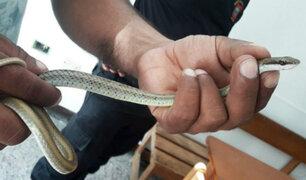 Rescatan a dos serpientes halladas en la ciudad de Piura