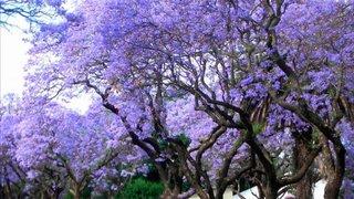 Kiri: el árbol que contribuye a salvar nuestro planeta del cambio climático