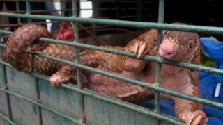 """China prohíbe """"completamente"""" comercio y consumo de animales salvajes por Coronavirus"""