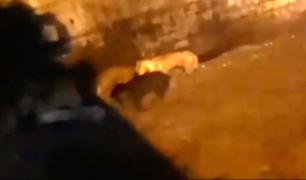 Arequipa: los últimos momentos de perritos callejeros antes de ser arrastrados por huaicos