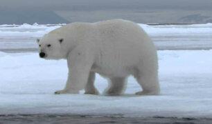 Científicos rusos alertan incremento de canibalismo entre los osos polares