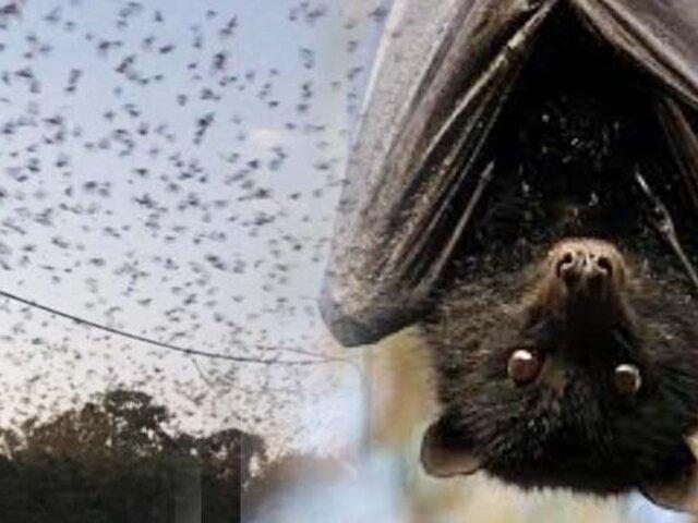 Australia: más de 200 mil murciélagos invaden pequeño pueblo de Queensland