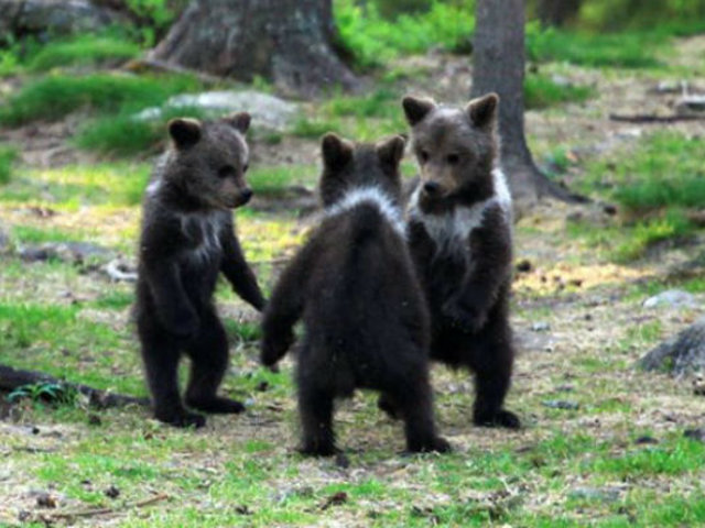[FOTOS] El mágico momento en que tres osos bebé bailan en medio del bosque