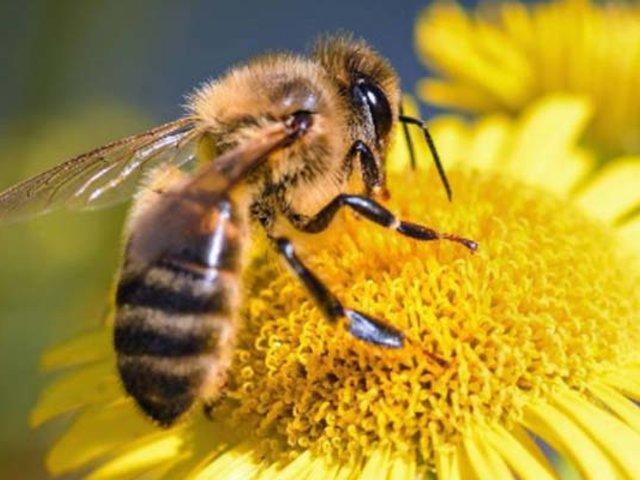 Científicos descubren en las abejas una nueva capacidad sin precedentes