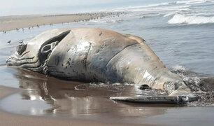Tacna: ballena muerta de más de 10 metros quedó varada en la playa