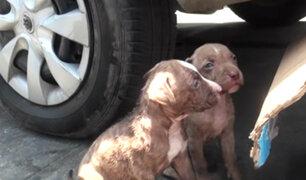 Surco: rescatan a cachorras pitbull que eran vendidas clandestinamente
