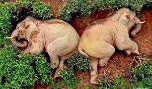 China: Elefantes se emborrachan y se quedan dormidos en granja
