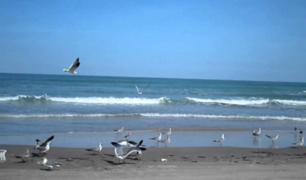 Aves se apropian de las playas en Punta Hermosa