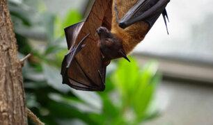 Tailandia: encuentran nuevo tipo de coronavirus en murciélagos