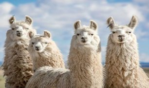 Llamas tienen anticuerpos que podrían acabar con el coronavirus