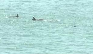Costa Verde: aparecen delfines ante ausencia de bañistas por cuarentena