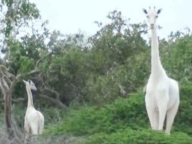 Kenia: cazadores matan a la única jirafa blanca y a su cría