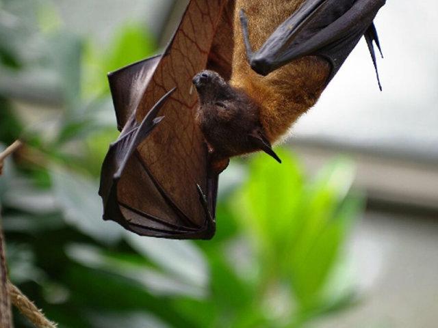 Cajamarca: Serfor pide parar ataque hacia los murciélagos