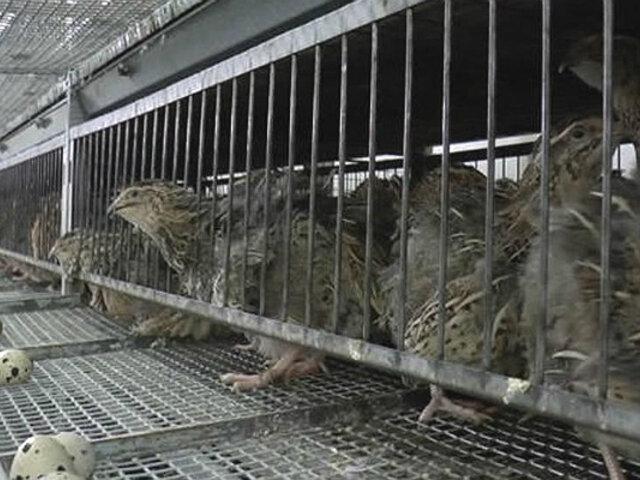 Estado de emergencia: criador de codorniz regala aves por falta de alimento en Ica