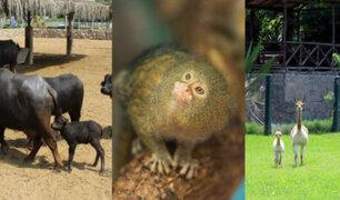 Parque de las Leyendas: anuncian nacimiento de una vicuña, dos monos leoncito y un búfalo