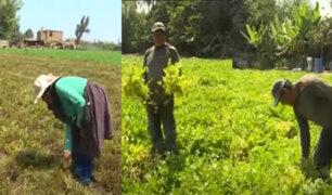 Coronavirus: Pequeños agricultores a punto de quebrar por Estado de Emergencia