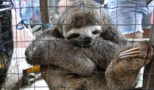 'Ellos también nos necesitan': lanzan campaña por animales rescatados del tráfico de fauna silvestre